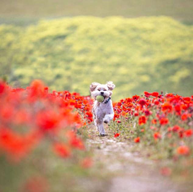Running through the Poppies