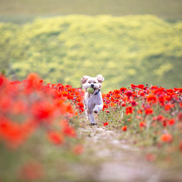 Running through the Poppies