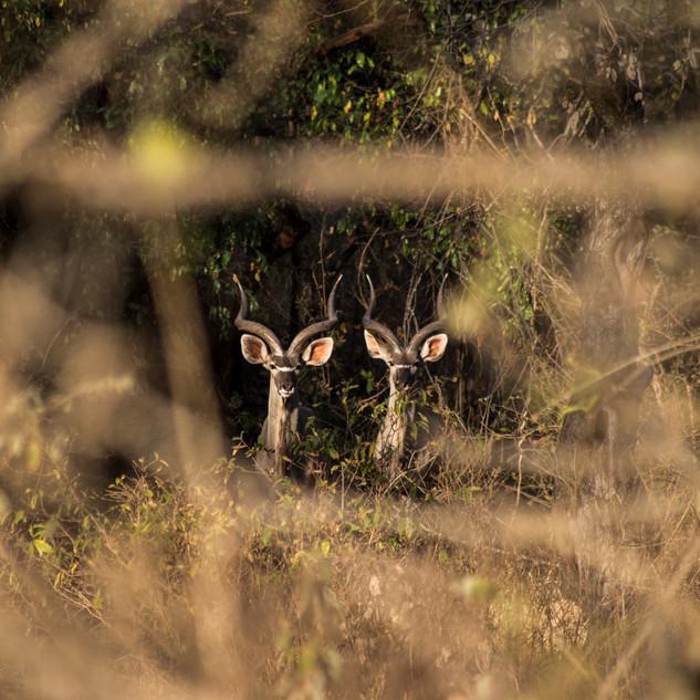 Peeking Kudu