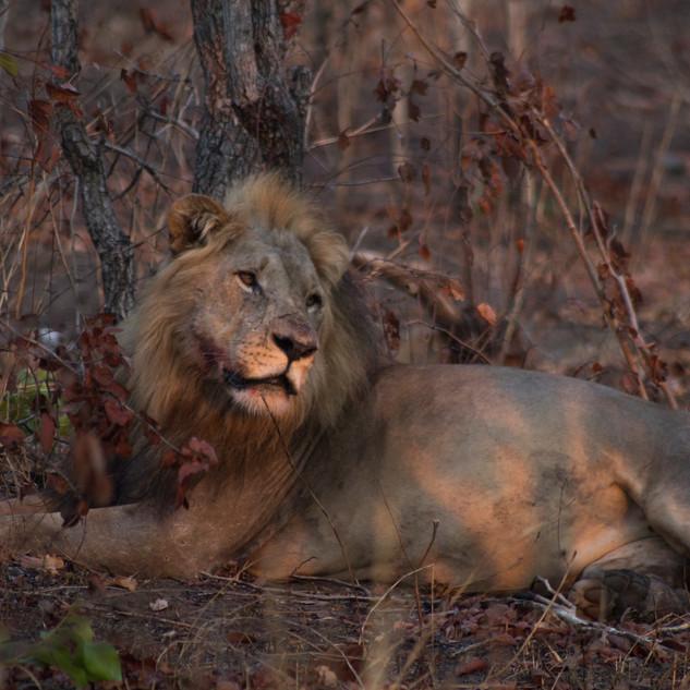 Malawian Lion