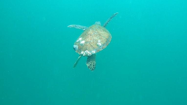 Green Turtles