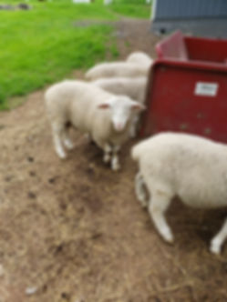 sheep rams2.jpg