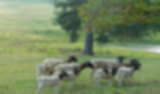 A few May lambs with their mommas at Dorper Fields Farm.