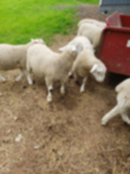 Sheep rams.jpg