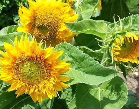 sunflowers carol.jpg