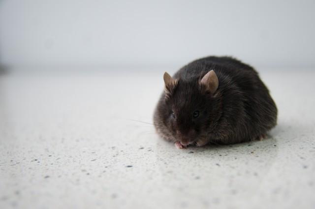 Fat Rat.jpg