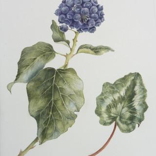 Ivy and cyclemen leaf.jpg
