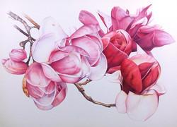 Heidi-Willis_Botanical-Art_watercolour_A