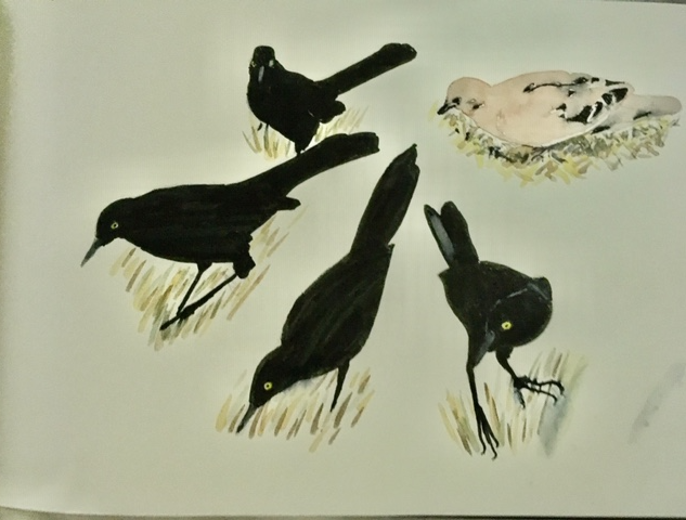 Barbados grackles and dove
