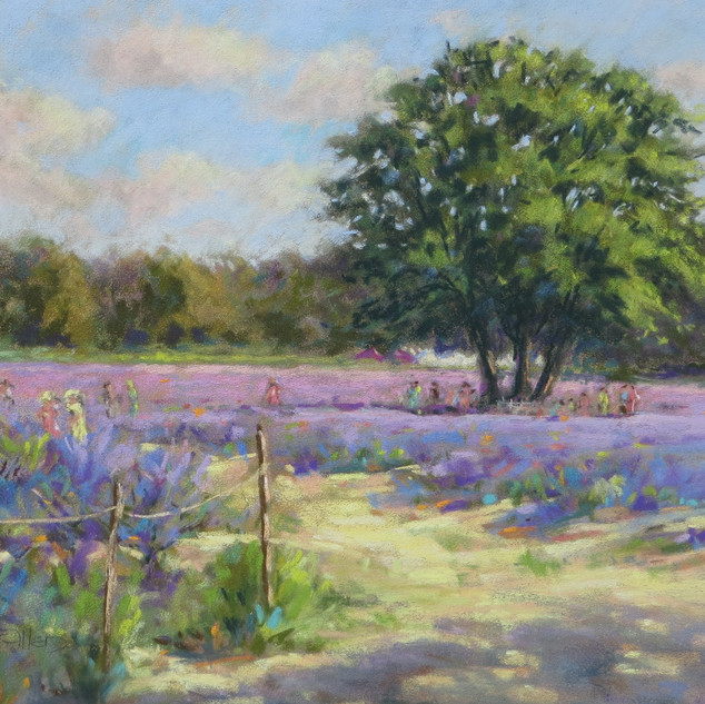 Mayfiels Lavender Day