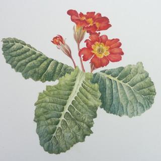 red polyanthus.jpg