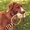 Beco Tilly the tiger pet dog toy being gripped in the mouth of a beautiful red dog