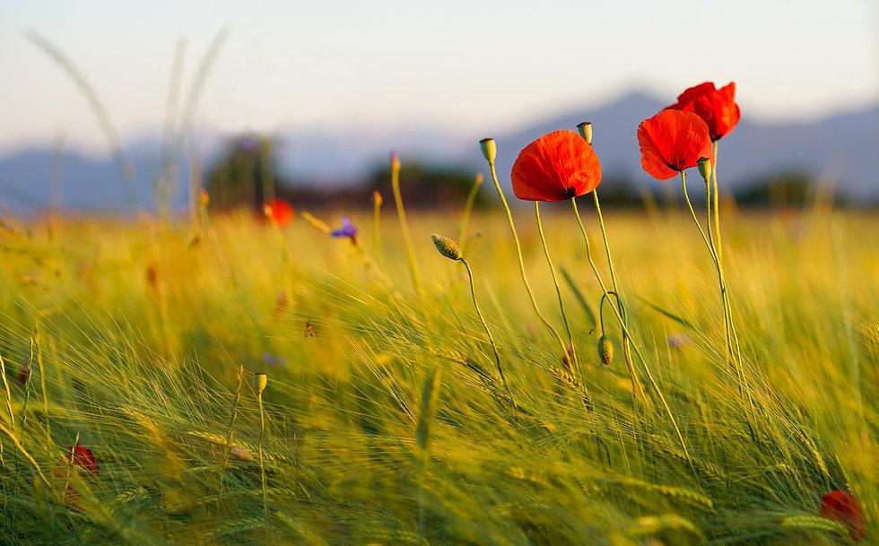 poppies-6480490.jpg