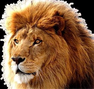download-lion-png-images-transparent-gal