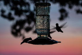 CFH_Pantoll Ranger Station 2_Birds_2020.