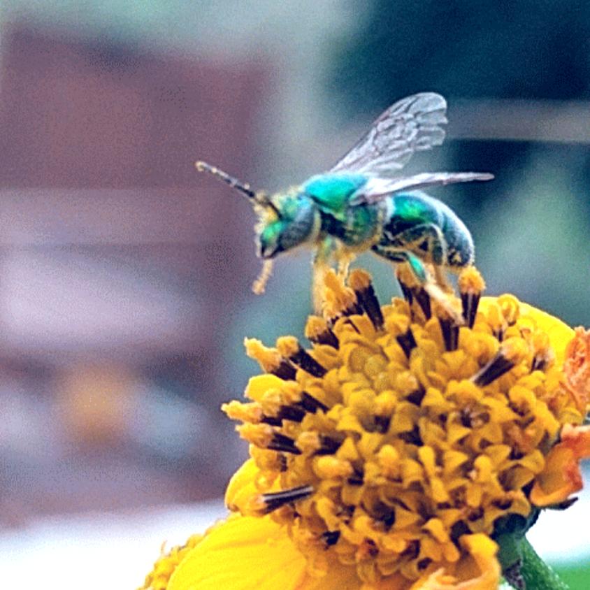 Solitary Bee Beginnings