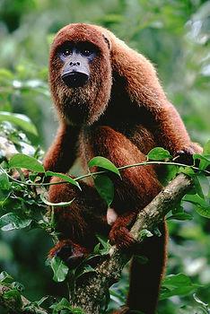 Howler Monkeys | Monkey Jungle | Wildlife Park | Tourist Attraction | Miami & South Florida