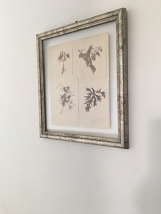 Framed Pressed Antique Seaweed.