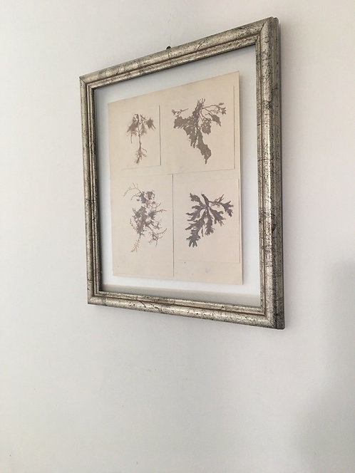 Framed Pressed Antique Seaweed.