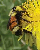 Bombus rufocinctus - red-belted bumble bee