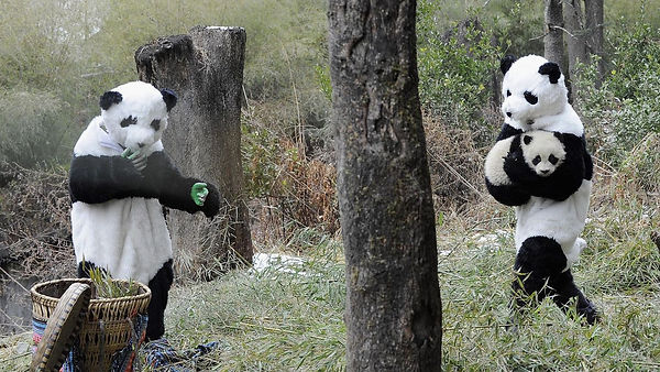 Zoo-keepers dressed up as giant pandas w