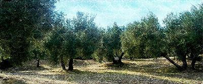 スペインオリーブジュース ハエンのオリーブ畑