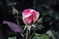 Rose in Hyde Park