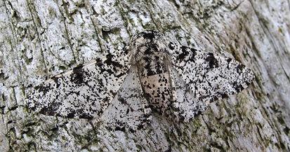Peppered MothL.jpg