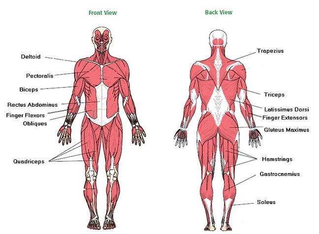 Muscle diagram.jpg