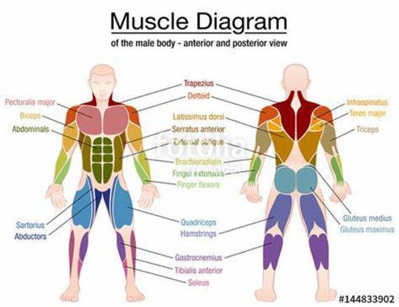 muscles.jpeg