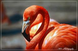 Cuban Flamingo