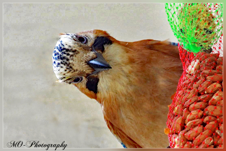 Eurasian Jay (Vlaamse Gaai)