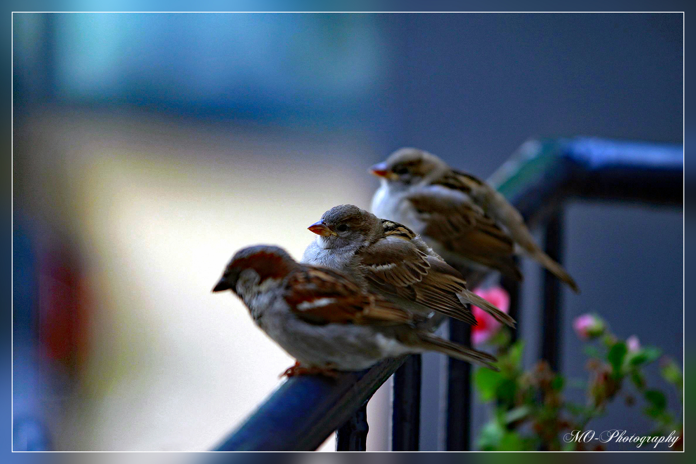 Sparrows (Mussen)