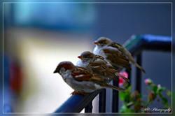 Sparrows (Mussen)