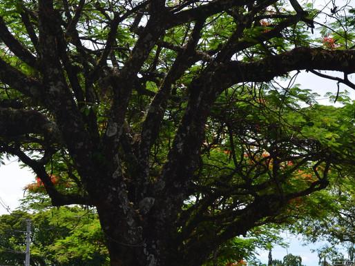 MP sugere Audiência Pública para retirada de árvores  ao redor do Condomínio Ipanema, em Cianorte