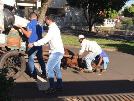 Quem olha para os animais que puxam carroças em Cianorte?