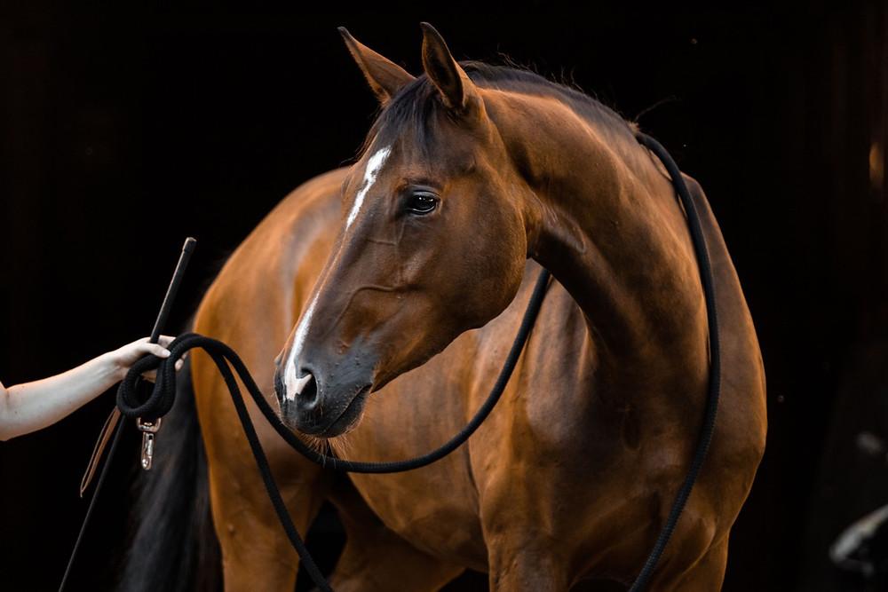Pferd mit Strick um den Hals vor schwarzem Hintergrund