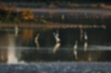 etang-de-careil-0001-2012-grande-aigrett