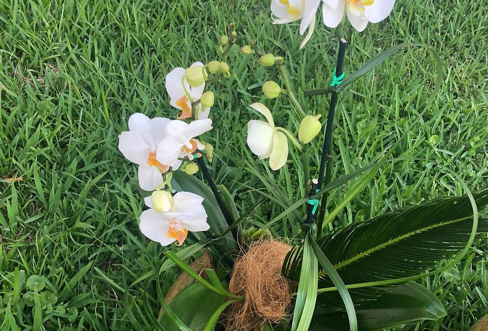 M63/Pecera con orquídeas