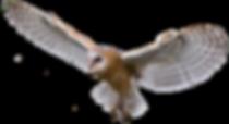 Barn_owl.png