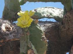 tuna flor amarilla (1)