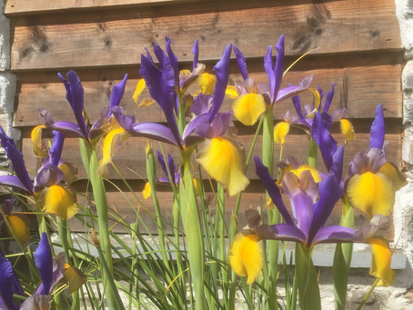 Irises in bloom outside Cefn Mawr