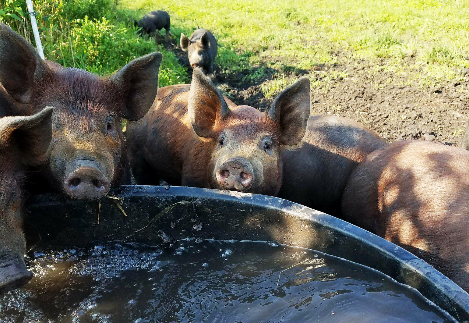 pigs_drinking_water_wacholz_farm