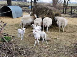 wacholz_farm_lamb