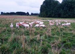 lamb_grass-fed_wacholz_farm