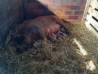 Early Spring Farrowing