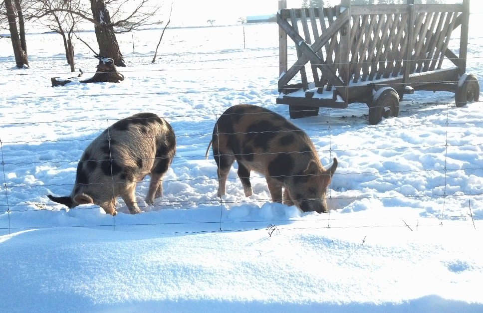 pigs_wacholz_farm_snow_fed