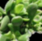 Crassula-portulacea-Hobbit_edited.png