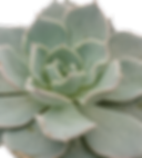Echeveria-canadian_edited.png