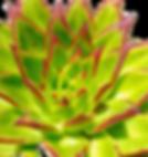 Echeveria-agavoides-Ebony-2_edited.png